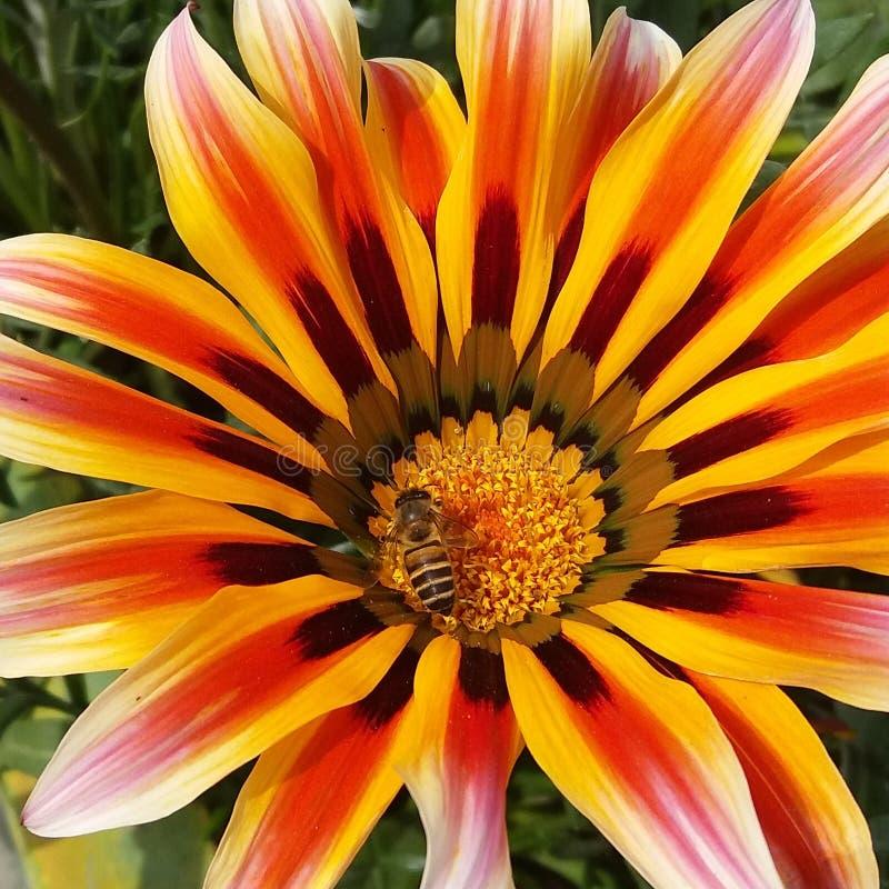 Una flor hermosa con la abeja de la miel imagen de archivo libre de regalías