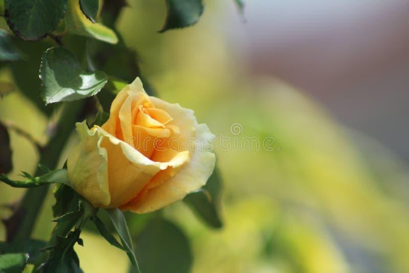Una flor hermosa de la rosa del amarillo admitida la mañana foto de archivo