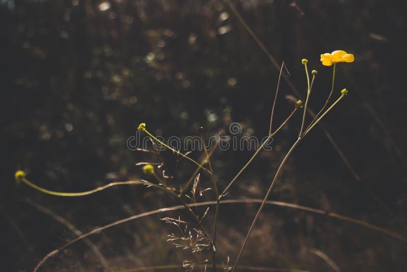 Una flor hermosa del color amarillo crece en un prado del otoño Éstas son las flores pasadas antes del inicio del frío del invier fotografía de archivo libre de regalías