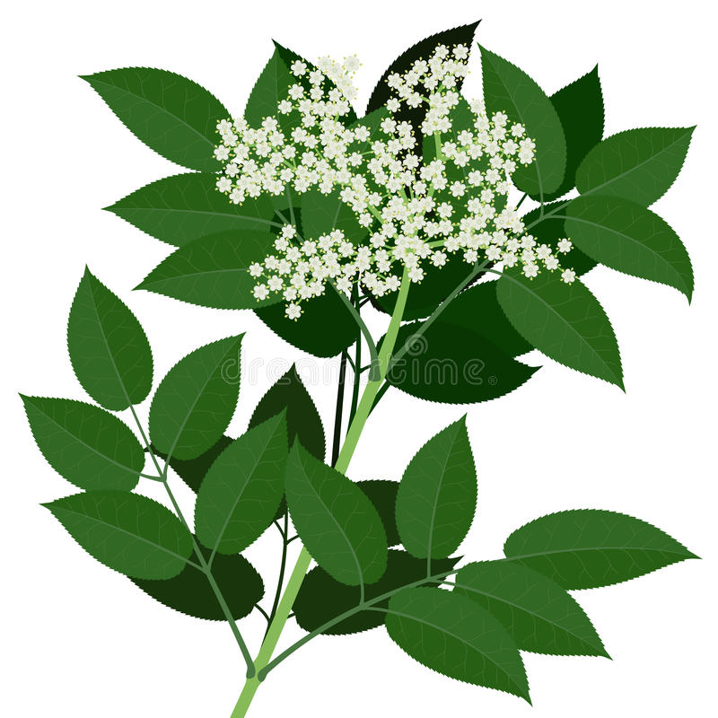 Una flor más vieja stock de ilustración