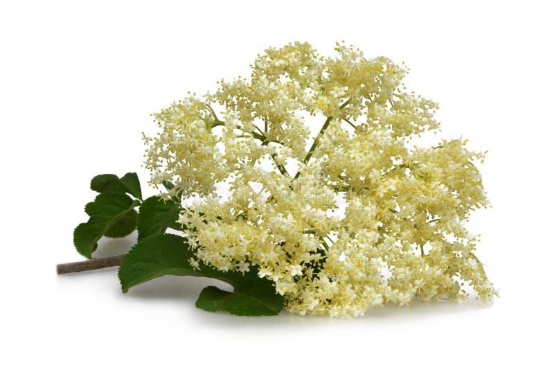Una flor más vieja aislada en blanco imágenes de archivo libres de regalías