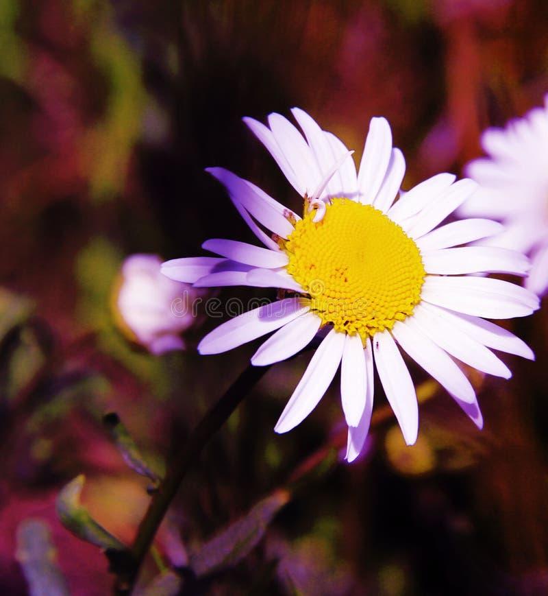 Una flor muy hermosa es un símbolo del verano fotos de archivo
