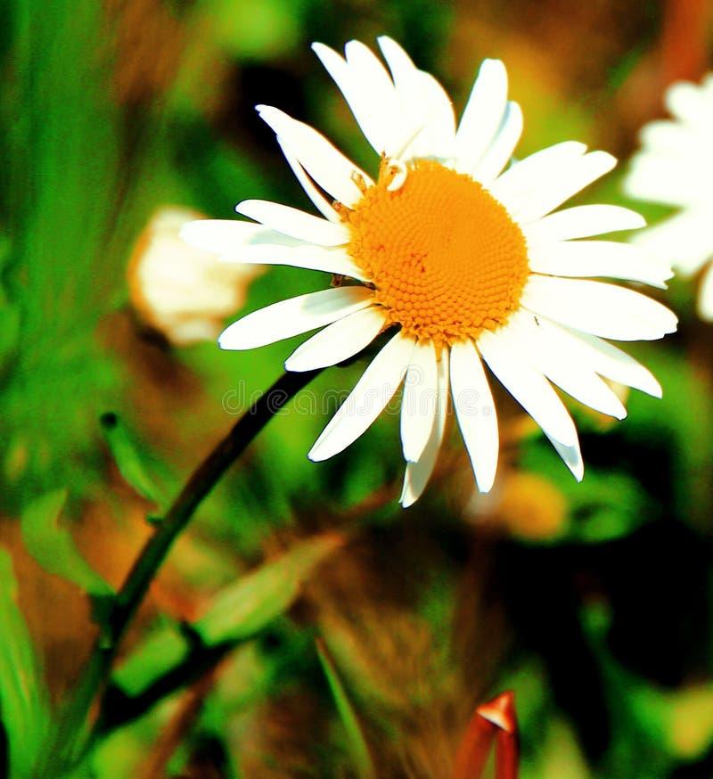 Una flor muy hermosa es un símbolo del verano imagenes de archivo