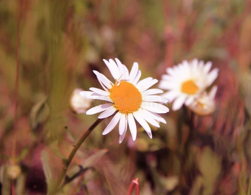 Una flor muy hermosa es un símbolo del verano fotografía de archivo