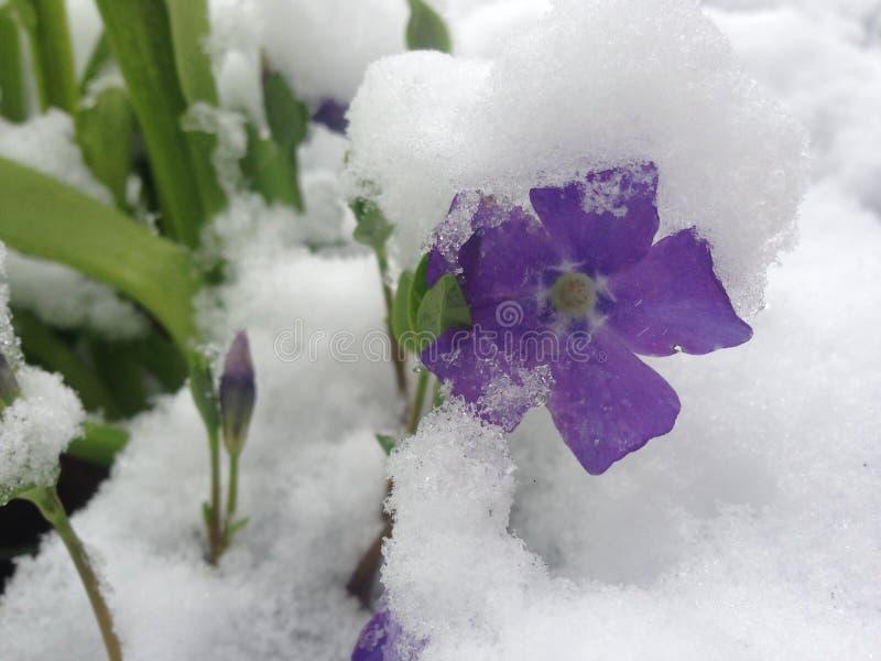Una flor púrpura de la primavera con la hierba y la nieve fotos de archivo libres de regalías