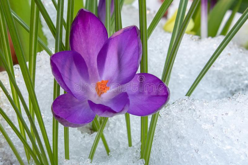 Una flor púrpura del azafrán en la nieve fotos de archivo libres de regalías