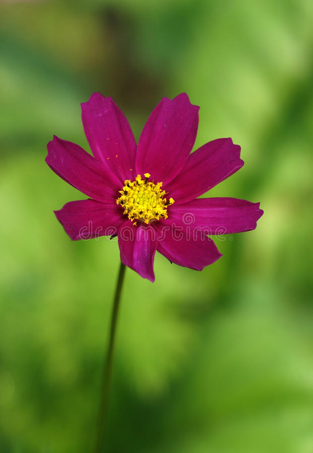 Una Flor Roja Del Coreopsis Foto de archivo - Imagen de diseño ...