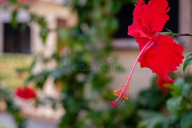 Una flor roja del hibisco delante de una tienda foto de archivo libre de regalías