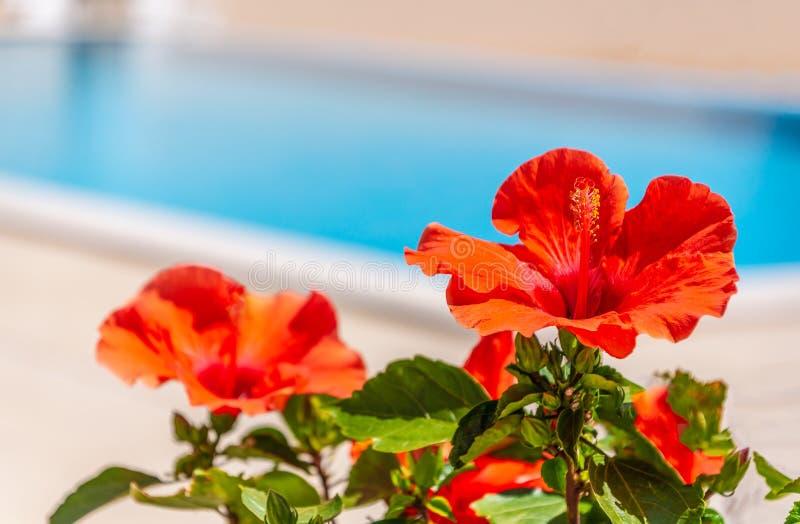 Una flor roja del hibisco por el lado de una piscina al aire libre fotografía de archivo libre de regalías