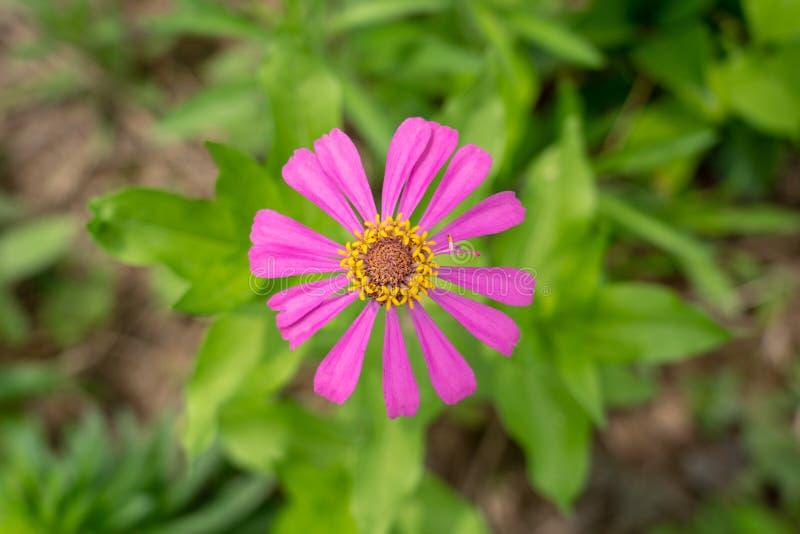 Una flor rosa-roja hecha fragmentos con los estambres amarillos imagen de archivo