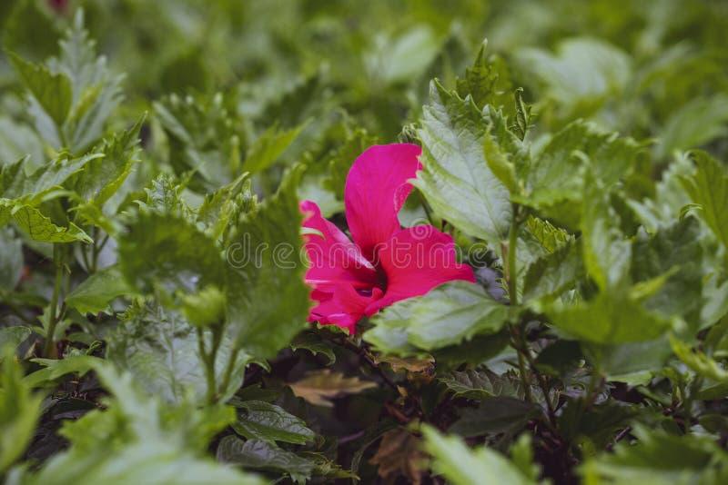 Una flor rosada color de rosa en las hojas verdes fotos de archivo libres de regalías