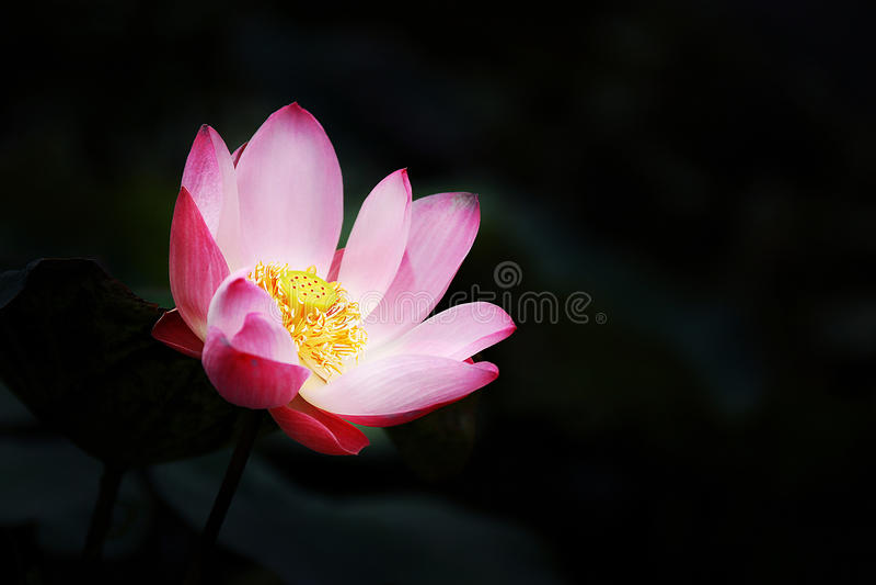 Una flor rosada del lirio de agua sube fuera de una charca mientras que b rodeado imagenes de archivo