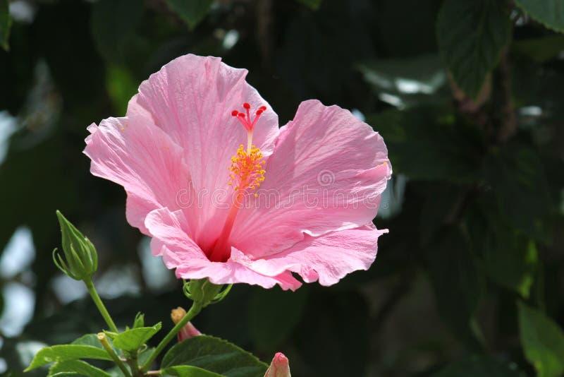 Una flor rosada en el sol imagen de archivo