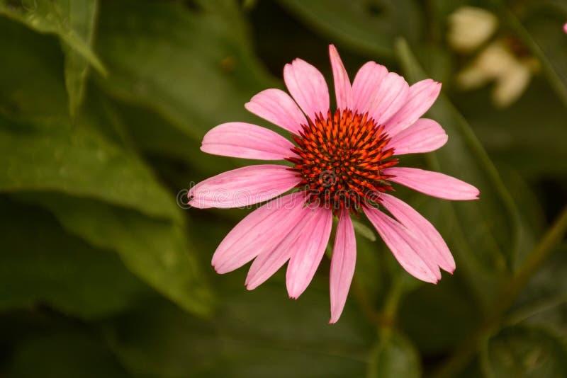 Una flor rosada solitaria del cono imagen de archivo