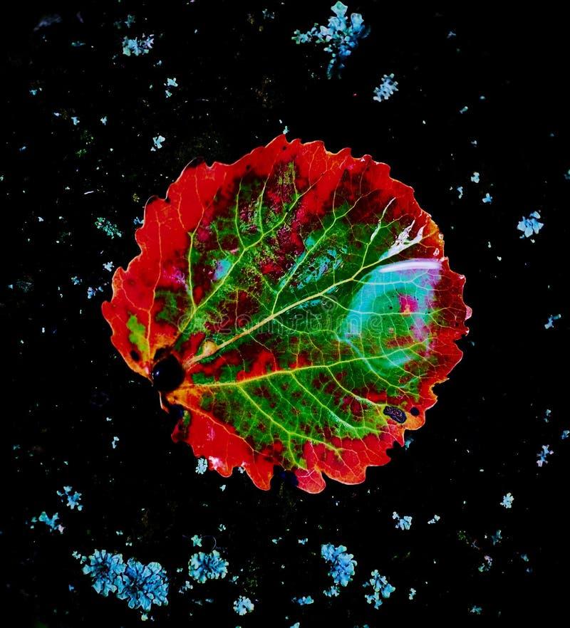 Una foglia caduta della tremula in un'astrazione variopinta Bellezza naturale Fine in su fotografie stock