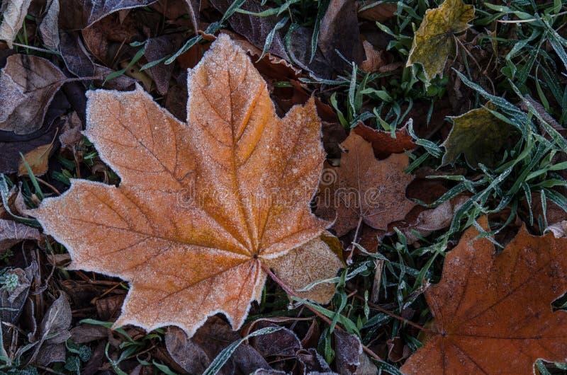 Una foglia di acero caduta si trova sull'erba coperta di gelo dopo la t fotografie stock libere da diritti