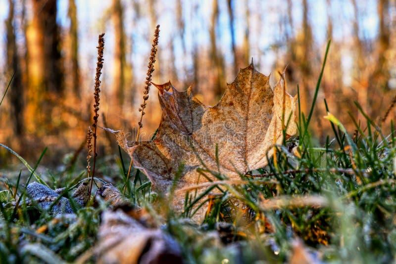 Una foglia di acero marrone meravigliosa cade dall'albero ed ancora dalla menzogne nell'erba Un bello dettaglio sulle piccole ven immagine stock