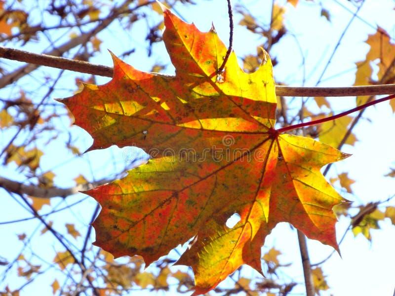 Una foglia di acero sola di autunno si è accesa brillantemente dal sole contro il cielo blu fotografia stock libera da diritti