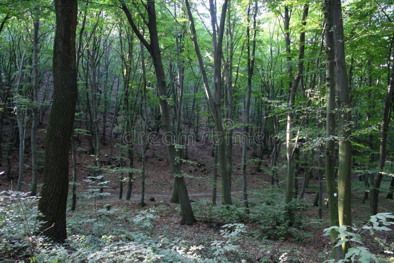 Una foresta del faggio immagine stock