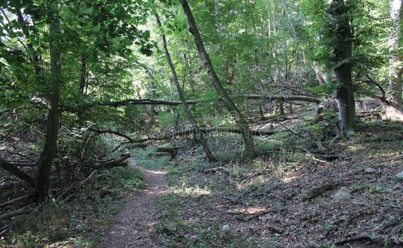 Una foresta del faggio immagini stock libere da diritti
