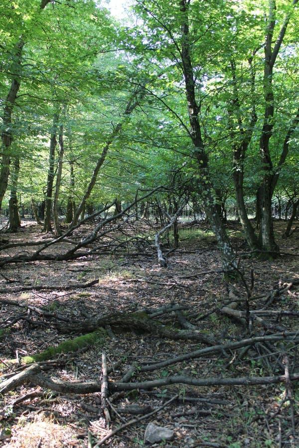 Una foresta del faggio immagini stock