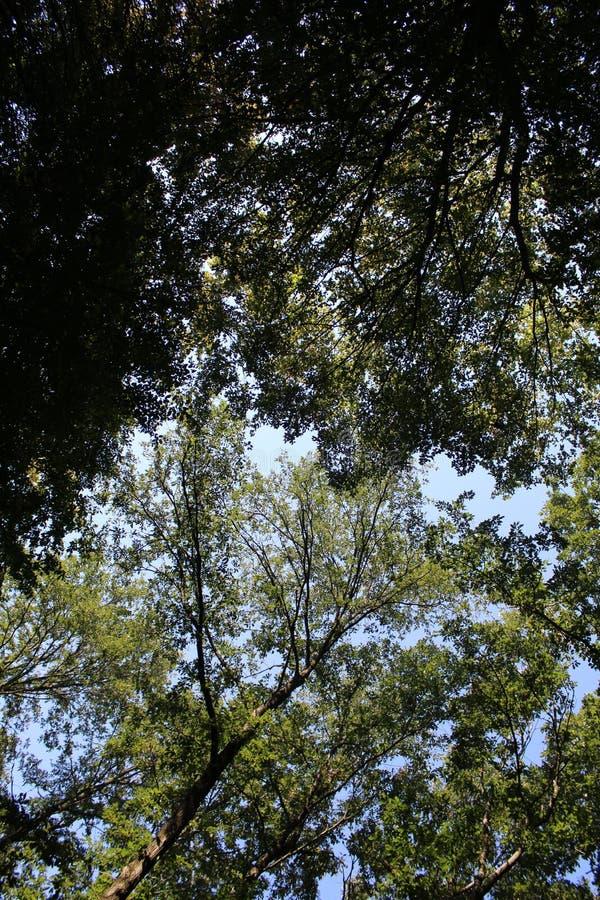 Una foresta del faggio fotografia stock