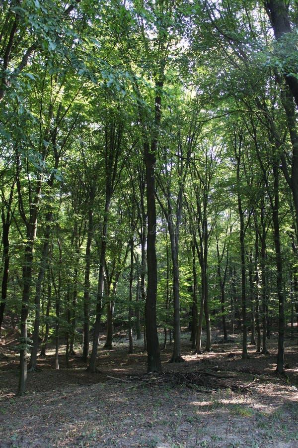 Una foresta del faggio fotografia stock libera da diritti