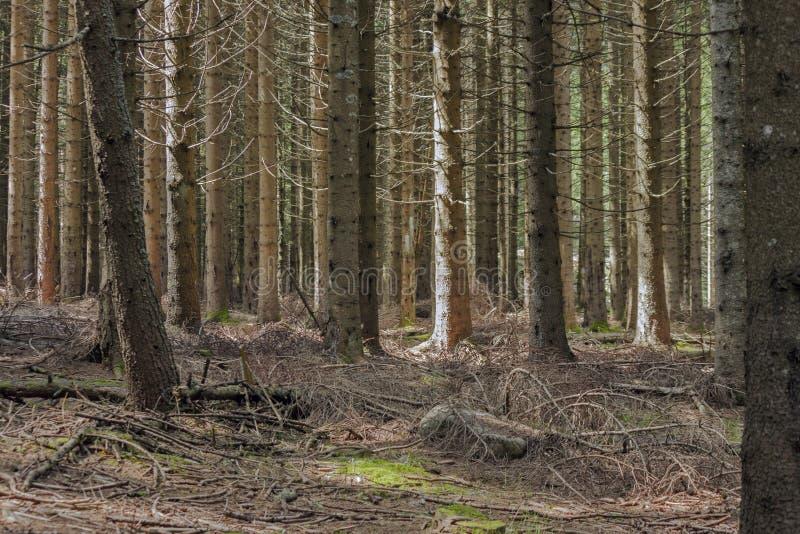 Una foresta del pino immagini stock