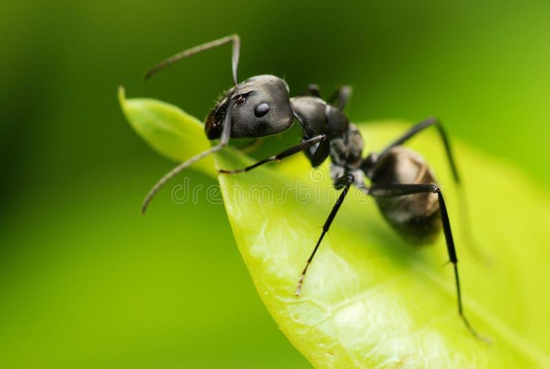 Una formica nera fotografia stock