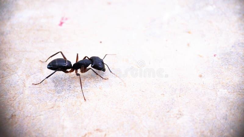 Una formica nera di vista laterale del carpentiere che muove macrofotografia intorno isolata - parte di sinistra della foto fotografie stock