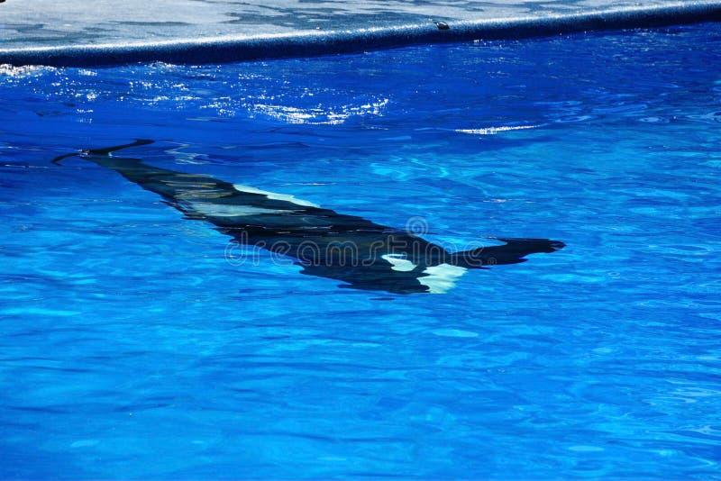 Una foto abstracta de una orca que nada bajo el agua fotos de archivo