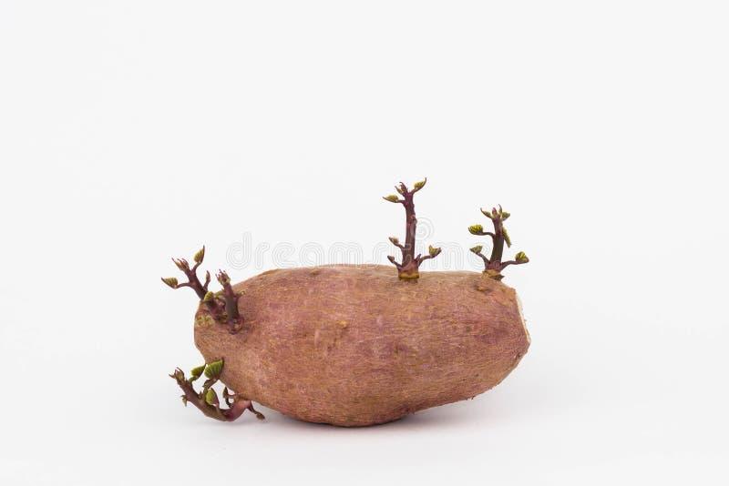 Una foto aislada de una patata dulce que brota sus hojas foto de archivo