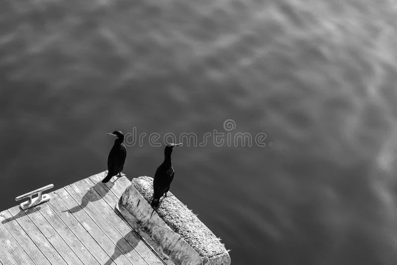 Una foto in bianco e nero del fondo di due uccelli del cormorano che si siedono su un sole del pilastro di mattina immagine stock libera da diritti