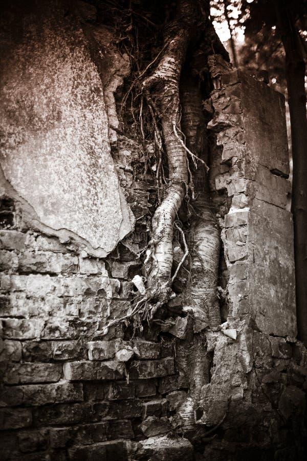 Una foto blanco y negro de un edificio arruinado del cual un árbol crece foto de archivo