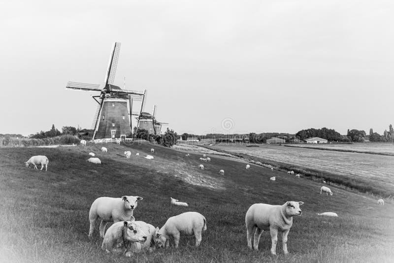 Una foto blanco y negro del corderos y molinos de viento en los Países Bajos foto de archivo libre de regalías