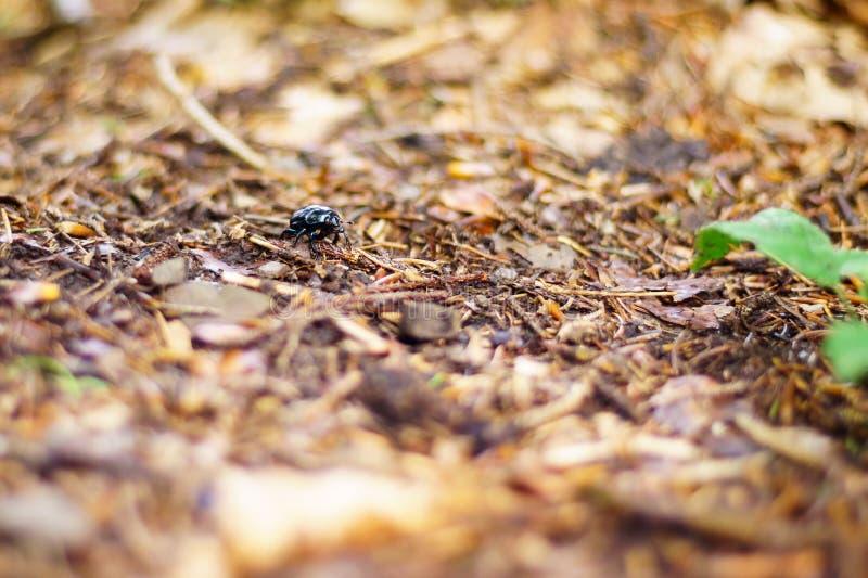 Una foto con una profundidad del campo muy baja, representando un escarabajo en el bosque con la vegetación Fondo muy grande de l foto de archivo libre de regalías
