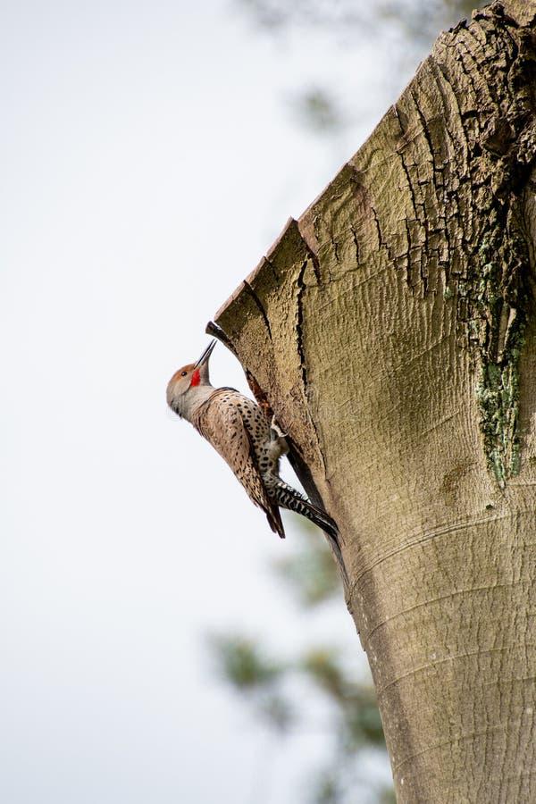 Una foto de un parpadeo del norte descansando en un árbol donde hizo su nido fotos de archivo libres de regalías