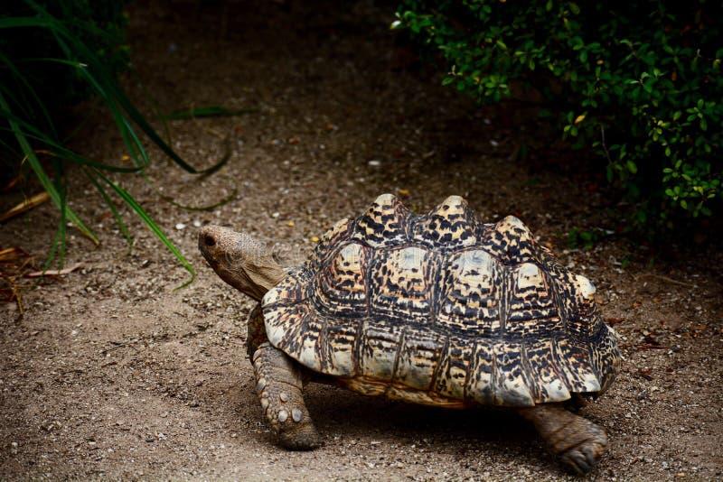 Una foto del primer de una tortuga del leopardo - pardalis del Geochelone de los tigmochelys Una especie hermosa, grande de tortu fotos de archivo libres de regalías