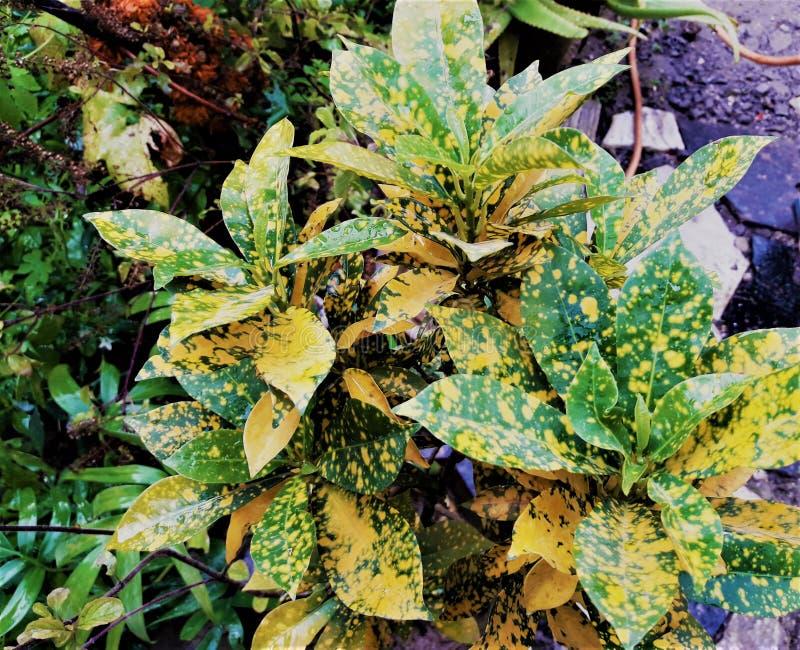 Una foto della pianta variopinta delle foglie immagini stock