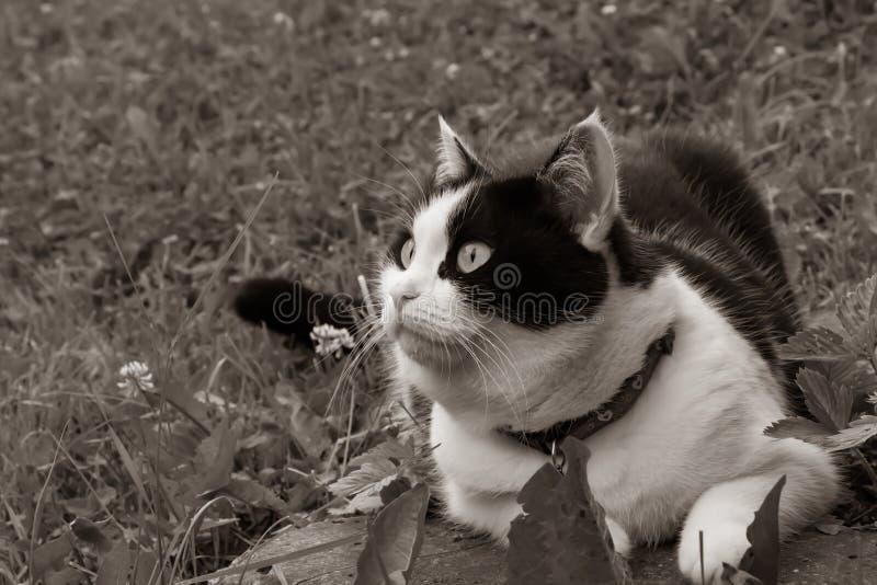 Una foto di seppia di un gatto in bianco e nero con i grandi occhi si trova sull'erba immagine stock libera da diritti