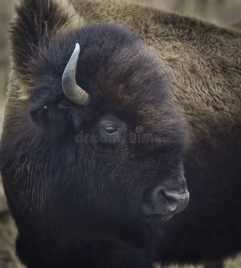 Una foto en la cabeza de un búfalo fotos de archivo libres de regalías