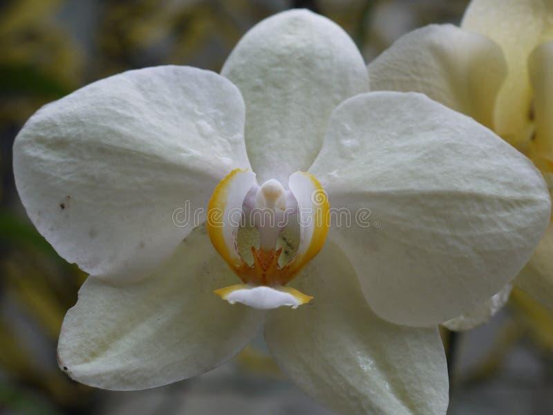 Una foto enorme di un fiore con i petali massicci bianchi e un nucleo giallo immagini stock