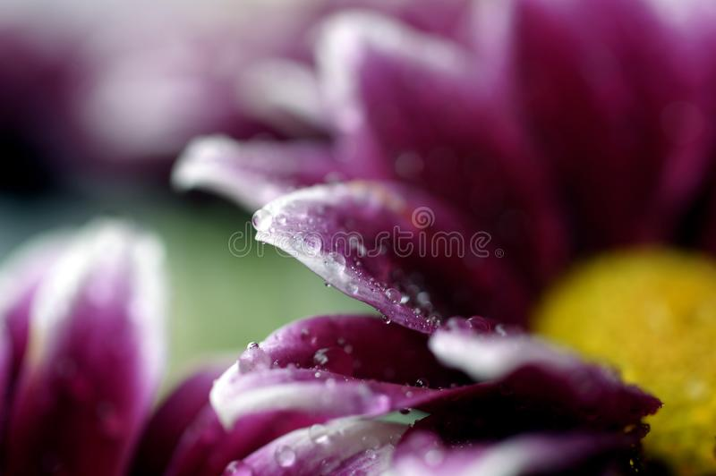 Una foto macra de los descensos minúsculos del agua en una flor fotos de archivo