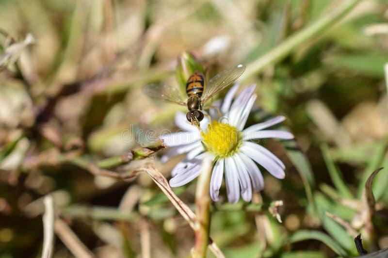 Una foto macra de una mosca que imita una abeja que chupa el néctar de una pequeña flor salvaje fotos de archivo libres de regalías