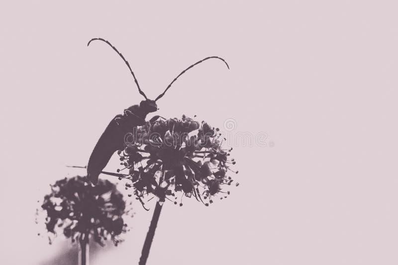 Una foto macra de un insecto en una planta con las flores blancas imagenes de archivo