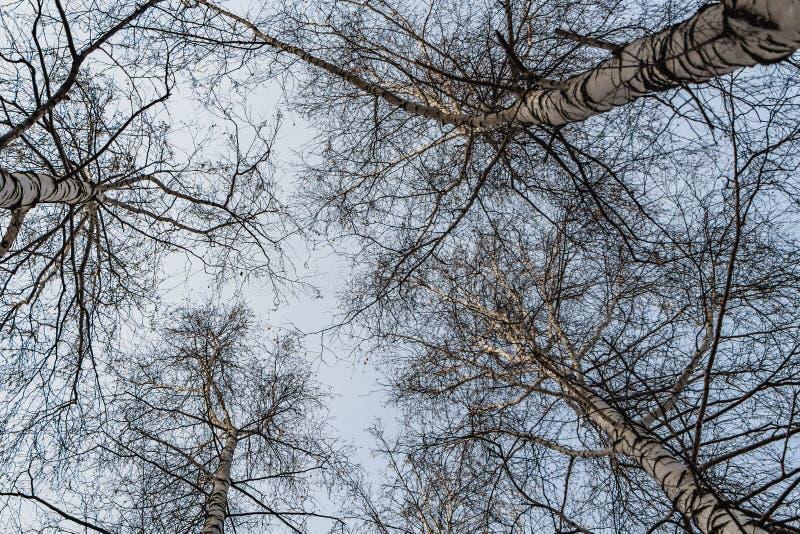 Una foto orizzontale di un gruppo di alberi di betulla bianca senza fogliame contro i precedenti del cielo blu nella foresta in a fotografie stock libere da diritti