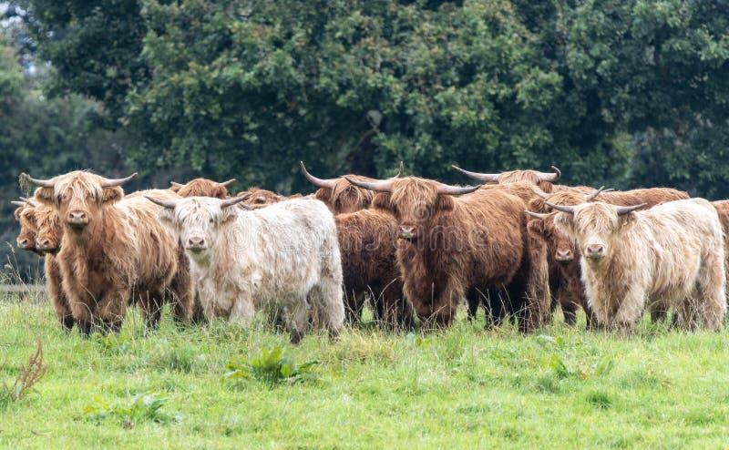 Una foto ravvicinata di una mandria di mucche delle Highland immagini stock