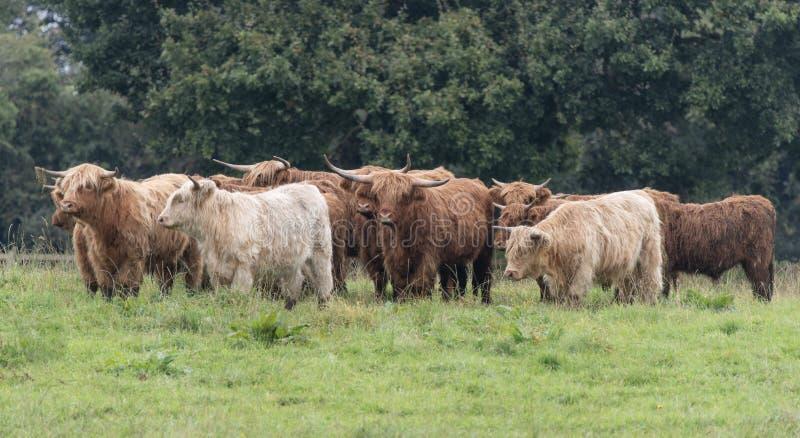 Una foto ravvicinata di una mandria di mucche delle Highland fotografie stock libere da diritti