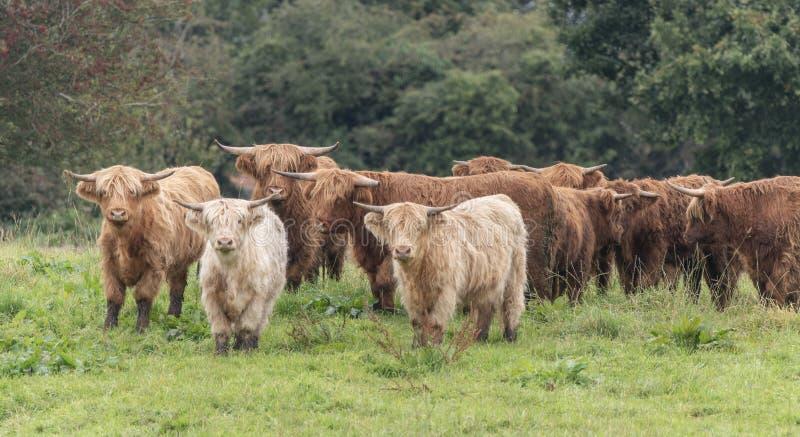 Una foto ravvicinata di una mandria di mucche delle Highland fotografia stock libera da diritti