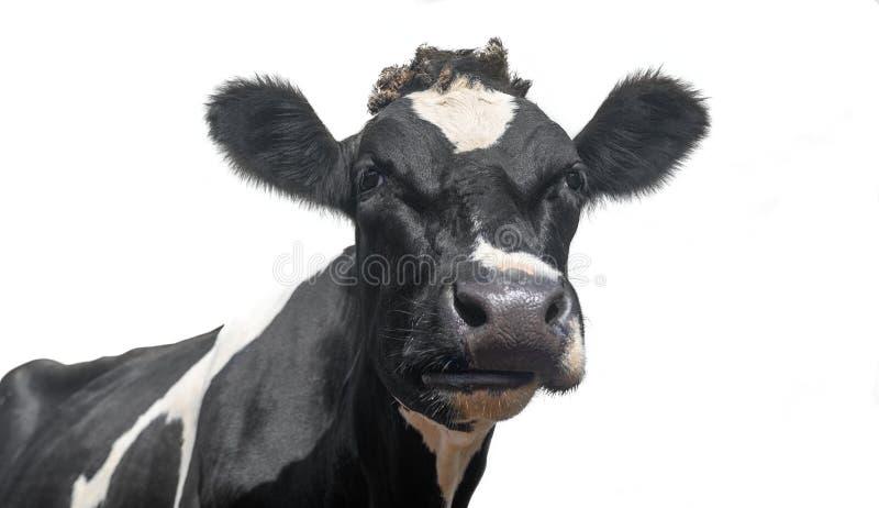 Una foto ravvicinata di una mucca da latte bianca e nera fotografia stock libera da diritti
